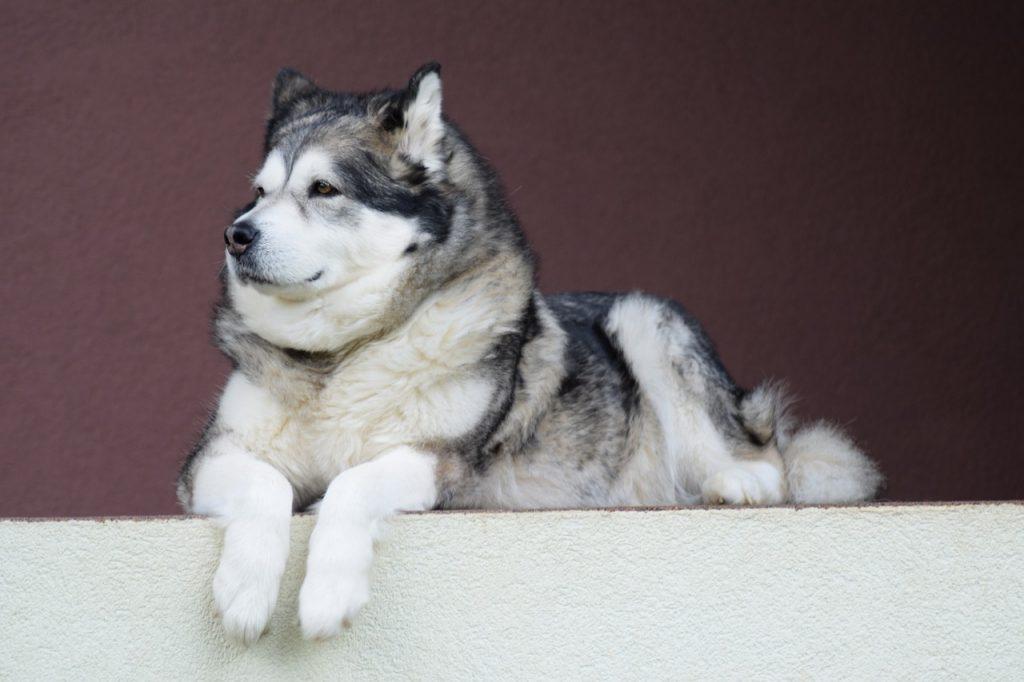 A big Husky dog sitting